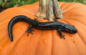 jefferson salamander Ontario by Andrea Bird